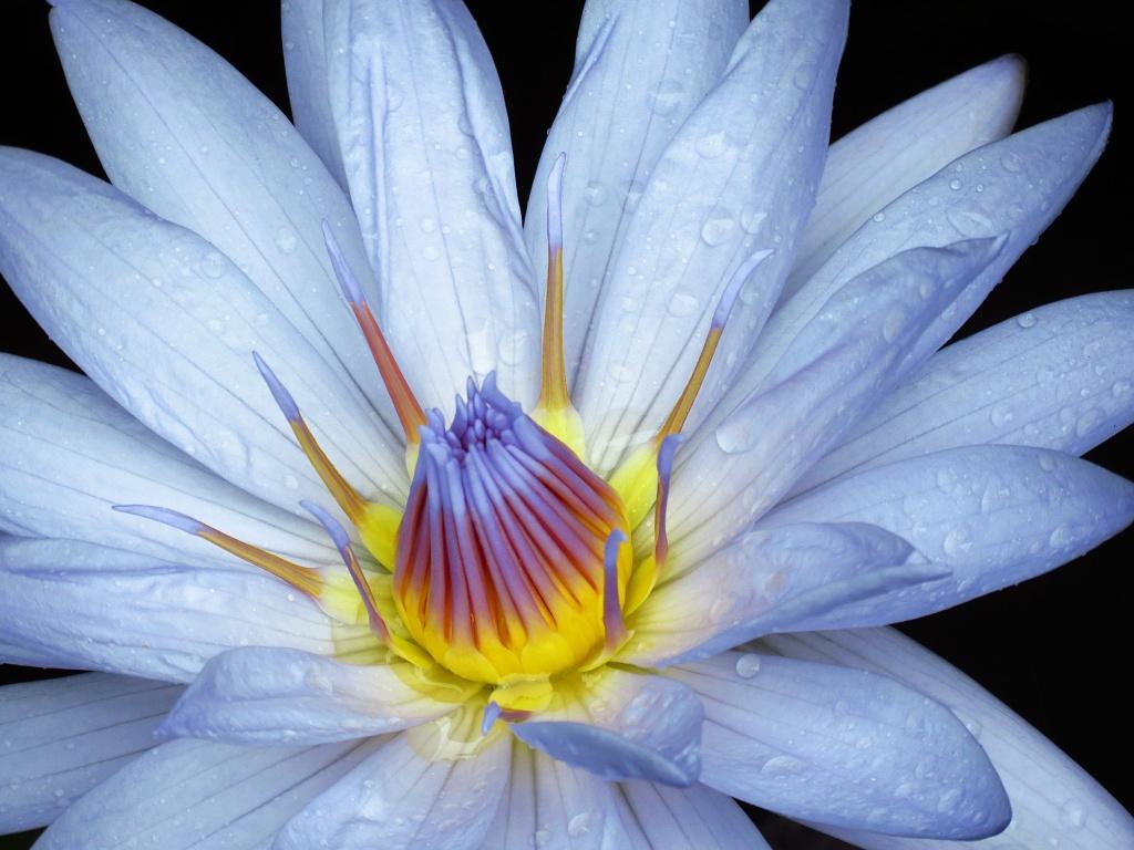 Lotusblüte - Australien