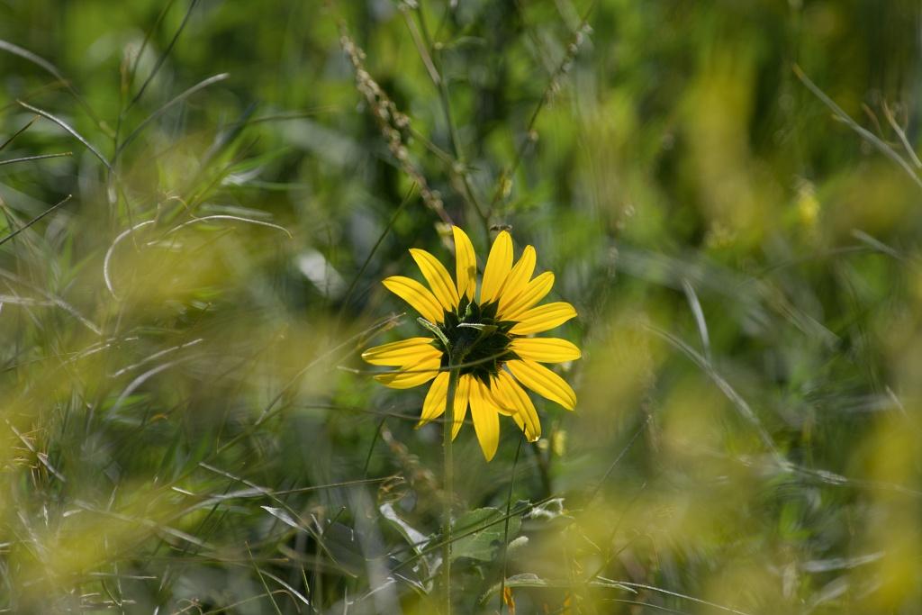 Prärie Sunflower - Süddakota