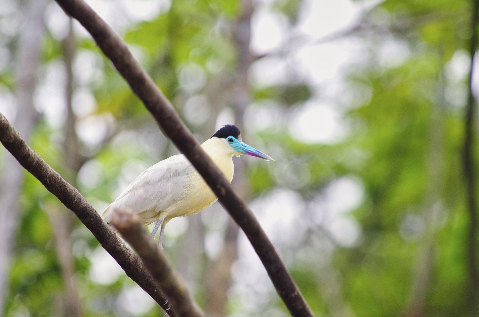 Black-Capped-Heron - Amazonas-Peru