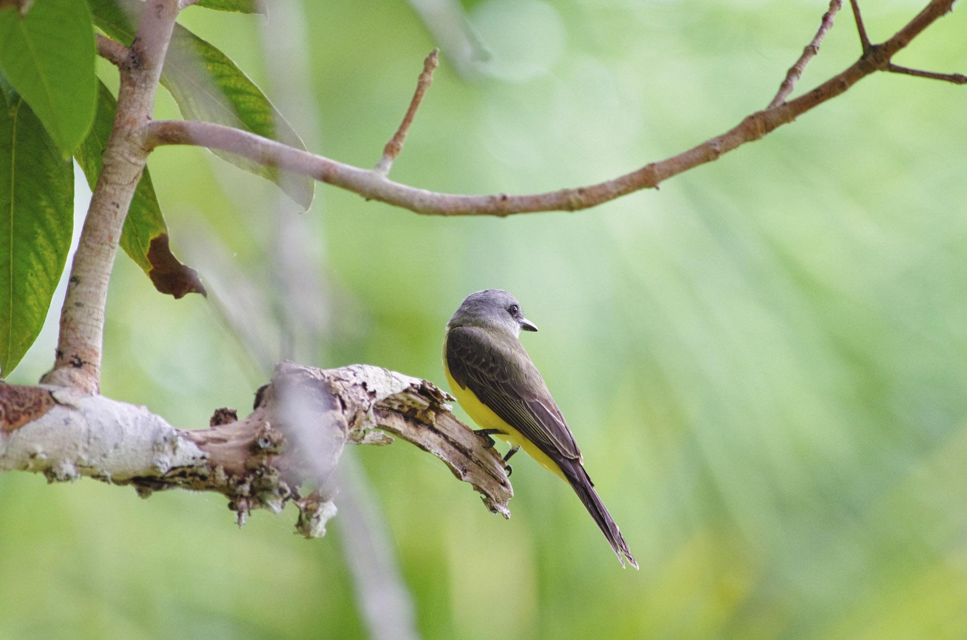 Flycatcher - Amazonas-Peru