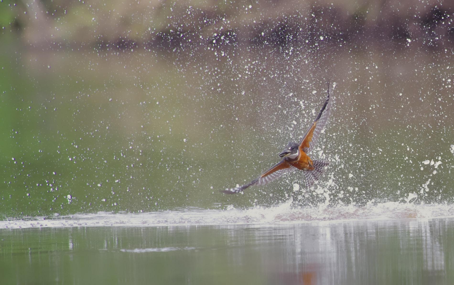 Kingfisher-Eisvogel - Amazonas-Peru