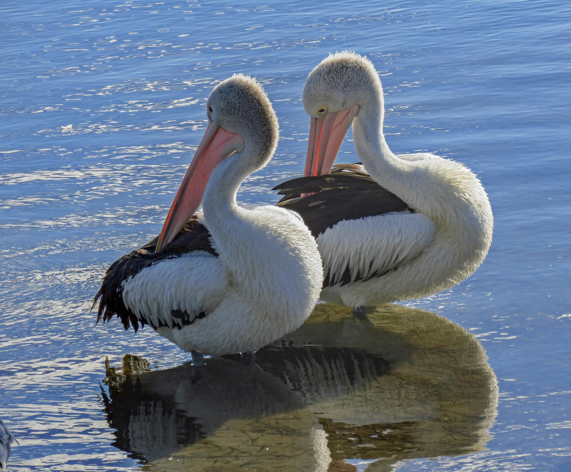 Pelikan - Australien