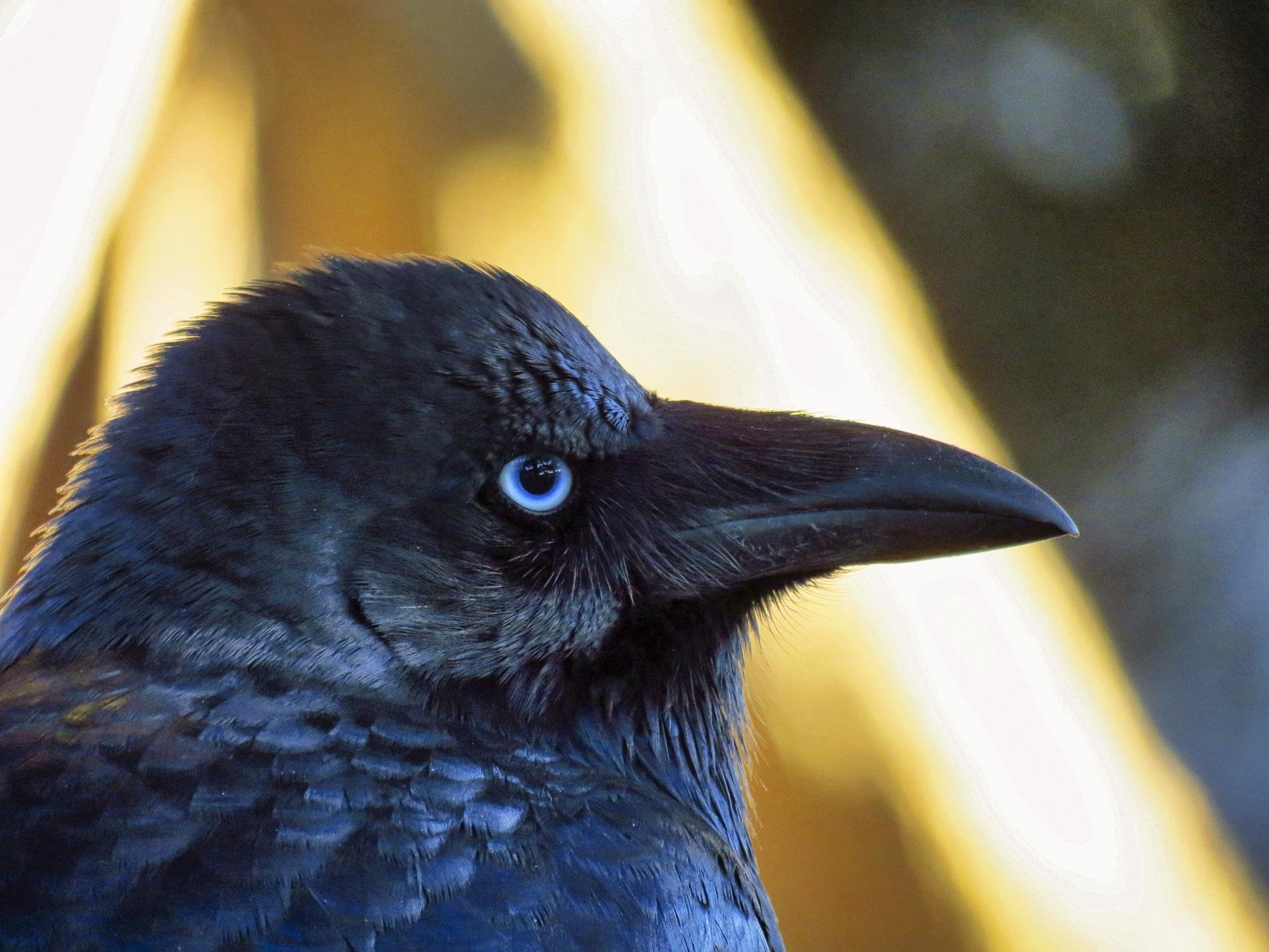 Rabenvogel - Australien