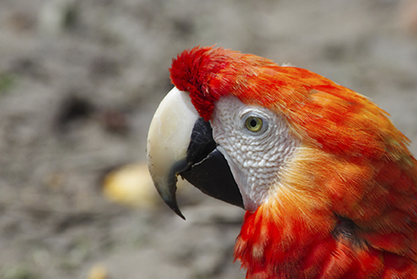 Roter Ara - Amazonas-Peru
