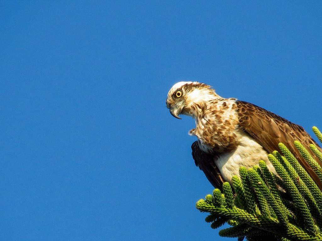 Fischadler - Australien