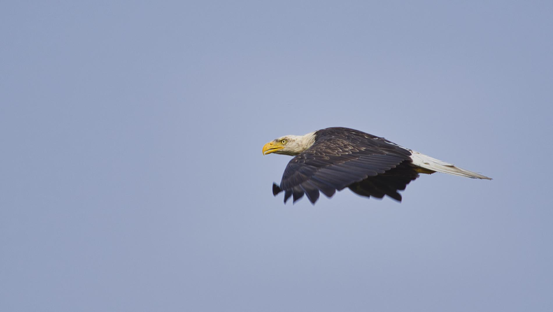 Weisskopfseeadler - Süddakota