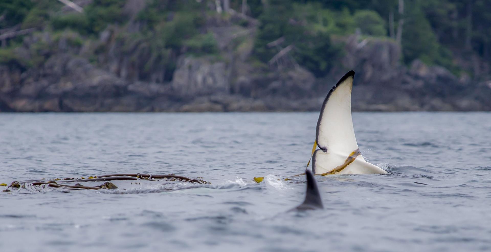 Orca Spiel im Kelb - Canada