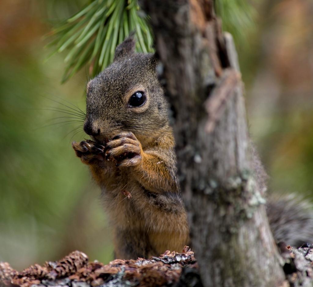 Eichhörnchen - Kanada