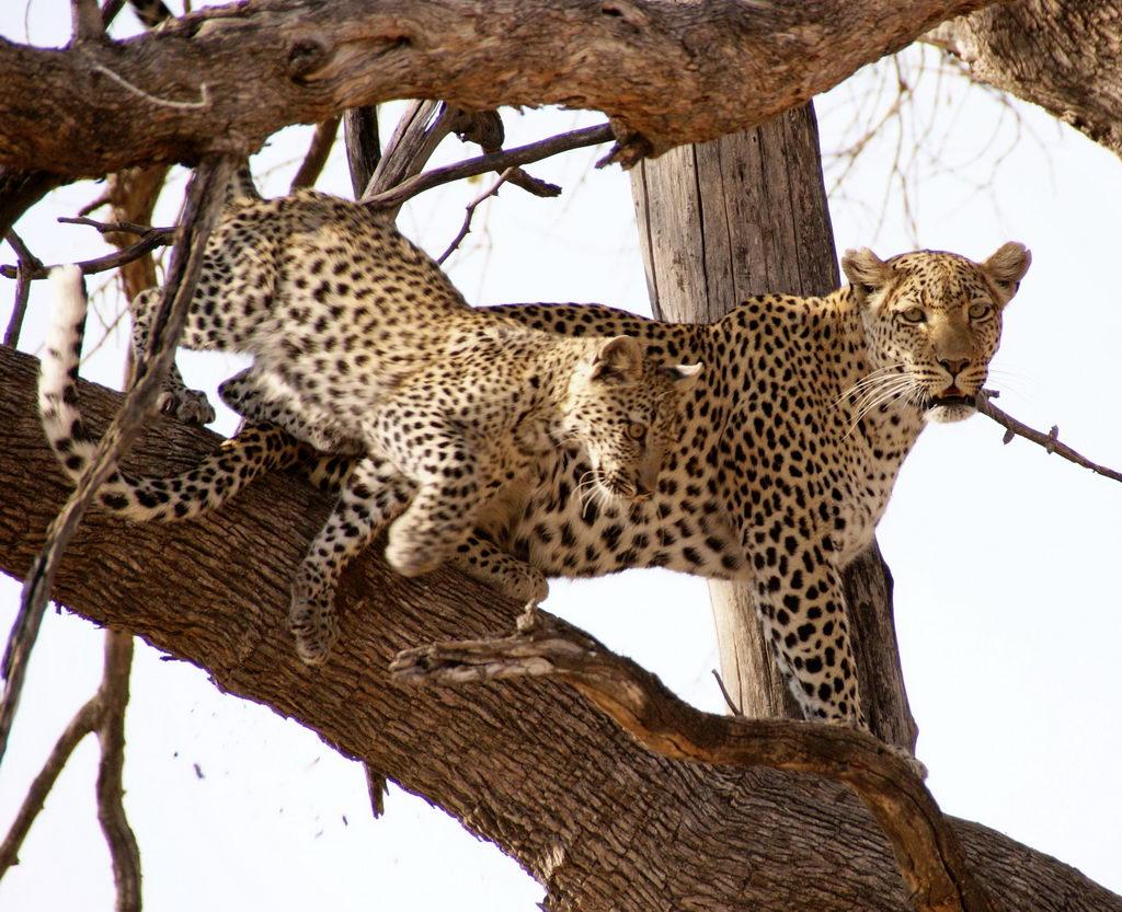 Leopard Mutter und Kind