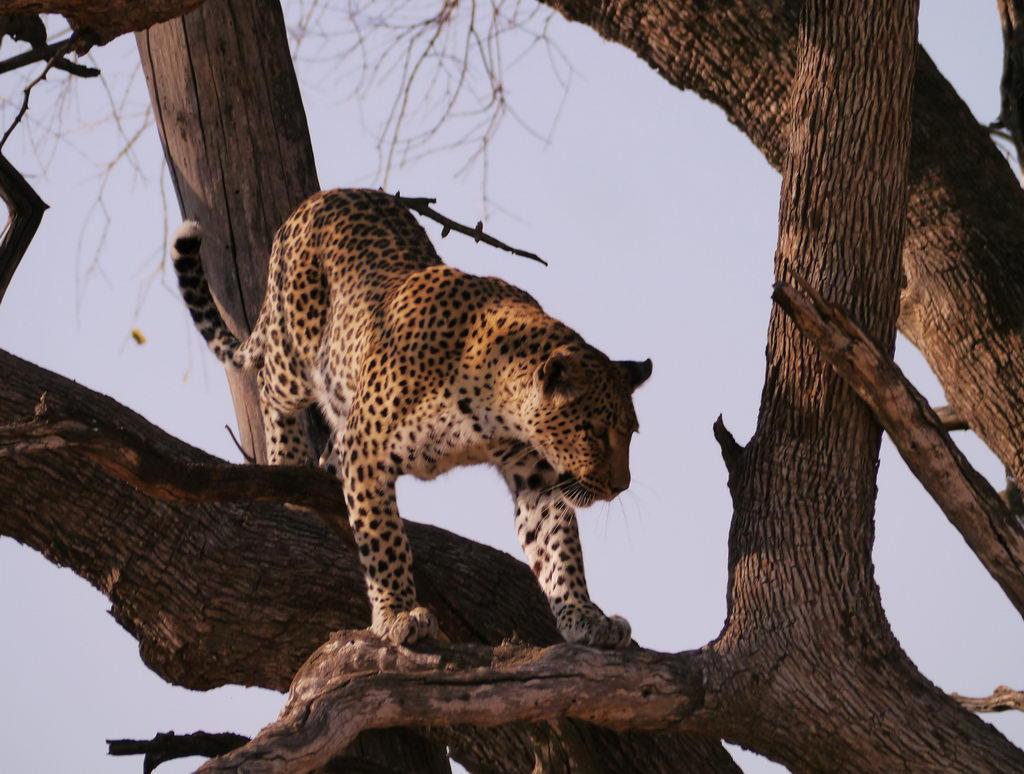 Leopard Mutter