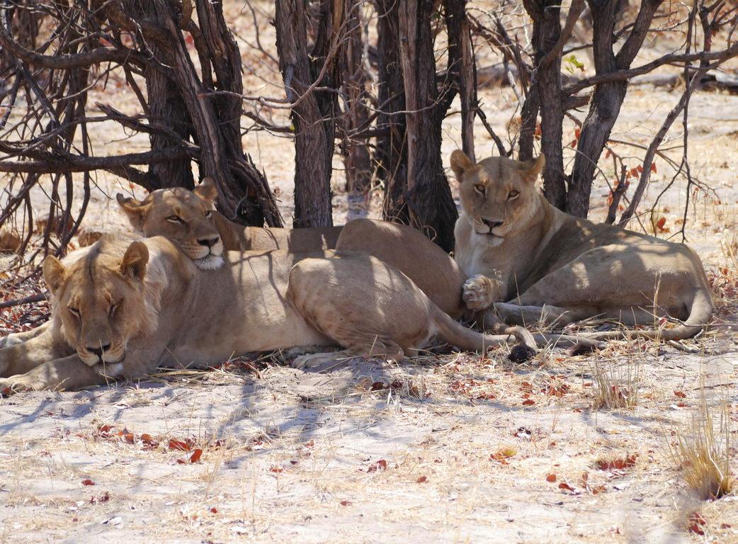 Siesta bei der Löwenfamilie