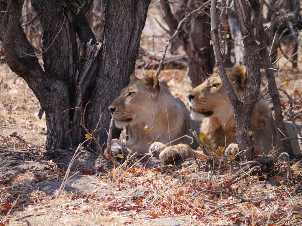 Junge Löwenmänner