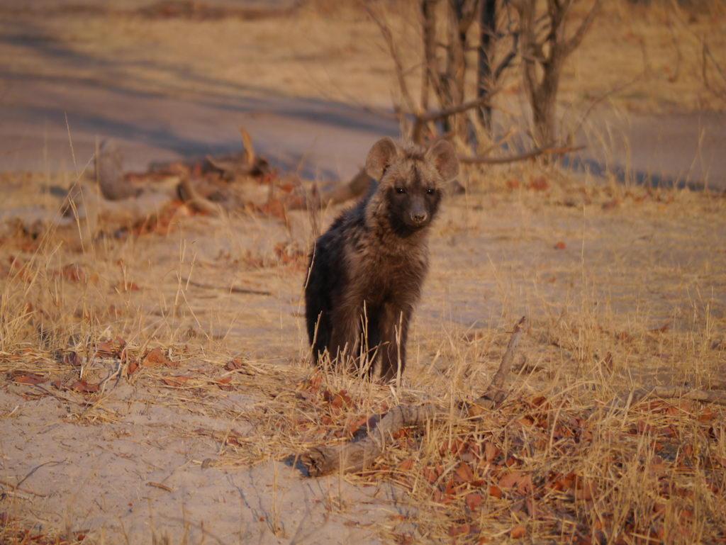 Hyänenjunges